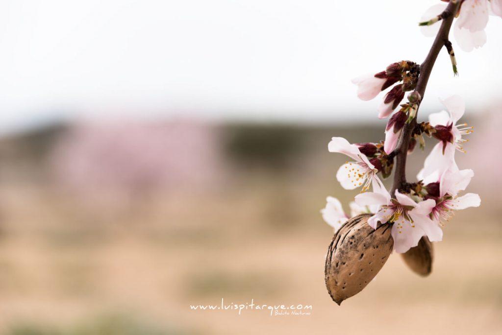 Flor del almendro en Valdealgorfa