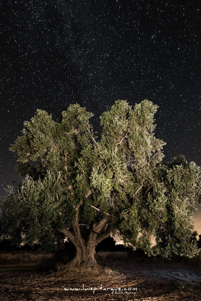 Olivo cuatricentenario en Calanda